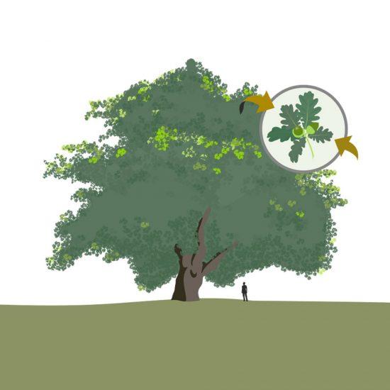 arbol-templado-arbol-tropical